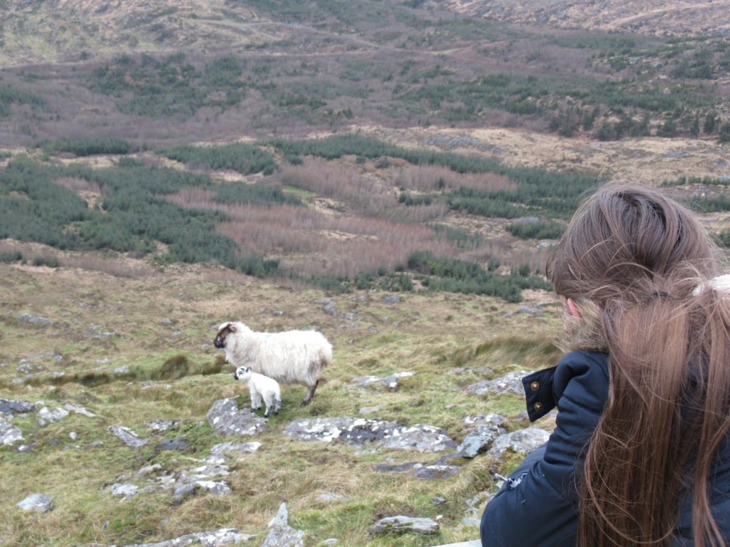 Child looking at sheep and lamb on mountain walk near schull